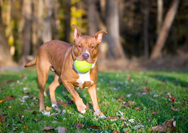 Animal enrichments can include playing fetch with a ball like this pit bull in a park