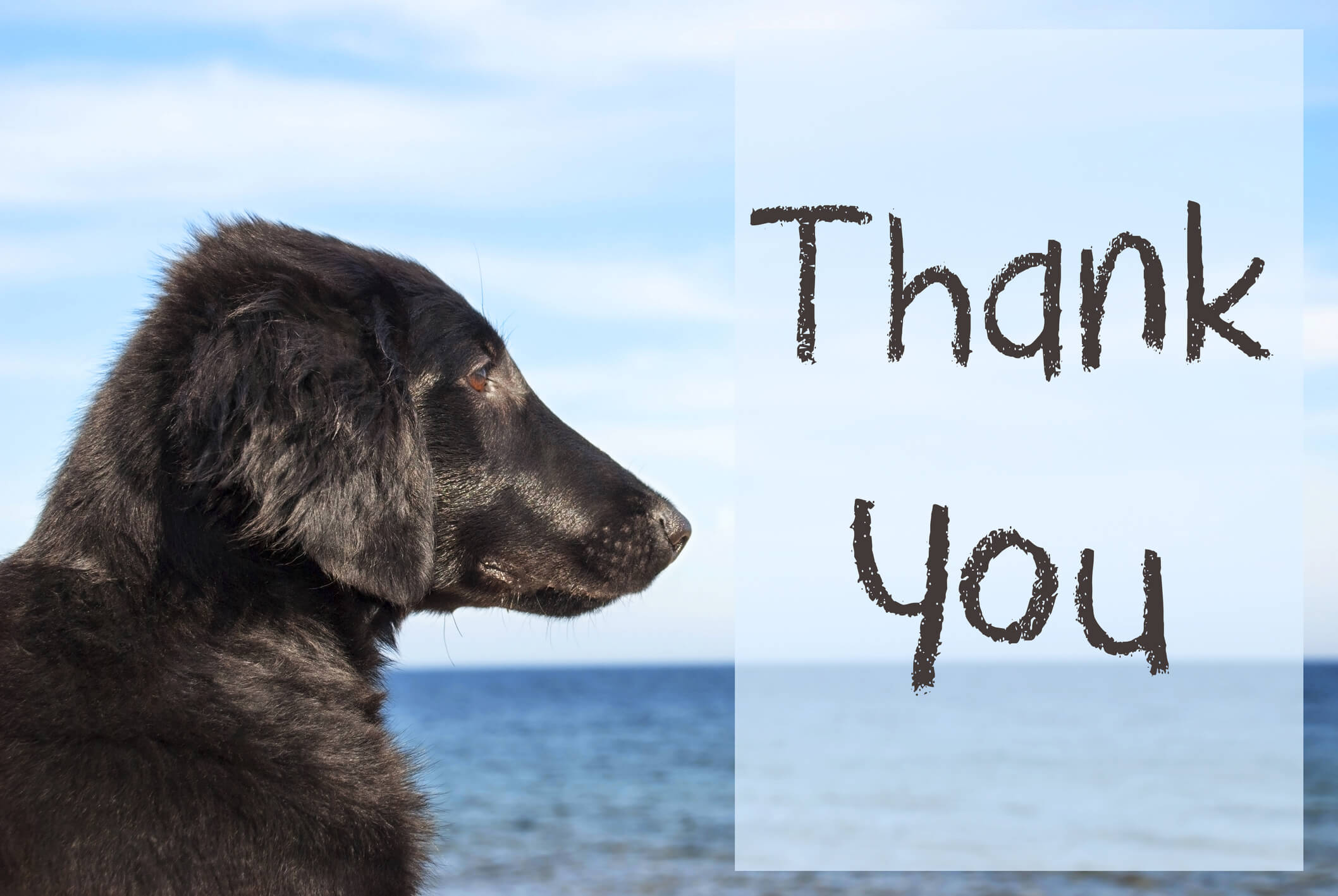 A shelter pet looks out over water with the words Thank You